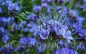Фацелия семена, фото 2