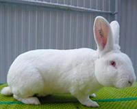 Молодняк кроликов Rex rabit