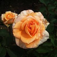 Саженец роз чайно-гибридной Луи Де Фюнес