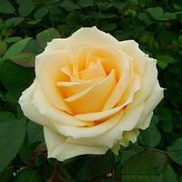 Саженец роз чайно-гибридной Пич Аваланш