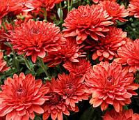 Хризантема корейская красная