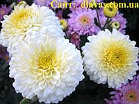 Хризантема корейская ЭЛЕН, фото 1