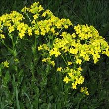 Семена травы Горчица желтая 5 кг (на седерат)