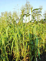 Семена трава суданка 10 кг (белая) Fazenda