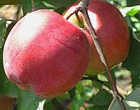 Саженцы яблони Лигол. (Б7-35). Зимний сорт.
