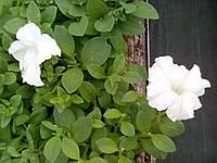 Сурфиния крупноцветковая белая, Р12