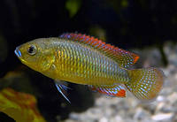 Хаплохромис филандер (Pseudocrenilabrus philander dispersus), 4-5см