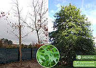Дуб шарлаховый (Quercus coccinea), обхват ствола16-25 (ком 55-65 см)