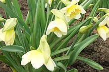 Нарцисс ранний махровый.