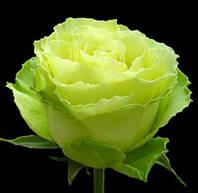 "Саженцы роз ""Лимбо"""