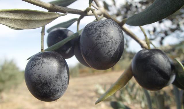 Оливки и маслины. Польза и вред. Чем отличаются оливки от маслин