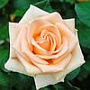 """Саженцы роз """"Асиана"""""""