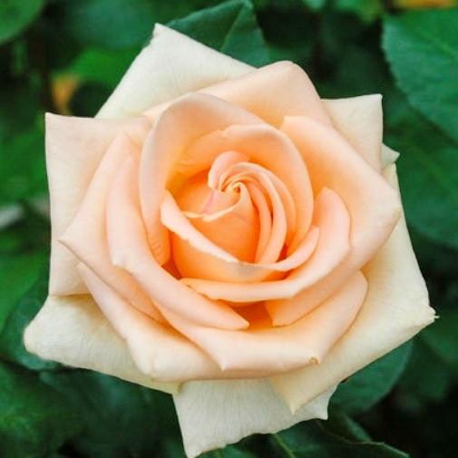 """Саженцы роз """"Асиана"""", фото 1"""