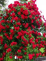 Саженцы роз Пол Скарлет Клаймер