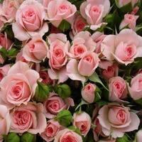 """Саженцы роз """"Грация"""""""