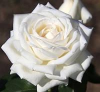 """Саженцы роз """"Боинг"""", фото 1"""