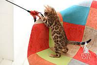 Мальчик 1. Бенгальский котёнок питомника Royal Cats., фото 1