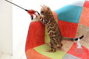 Мальчик 1. Бенгальский котёнок питомника Royal Cats.