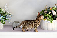 Кошечка 2 мес с документами и прививками из питомника Royal Cats