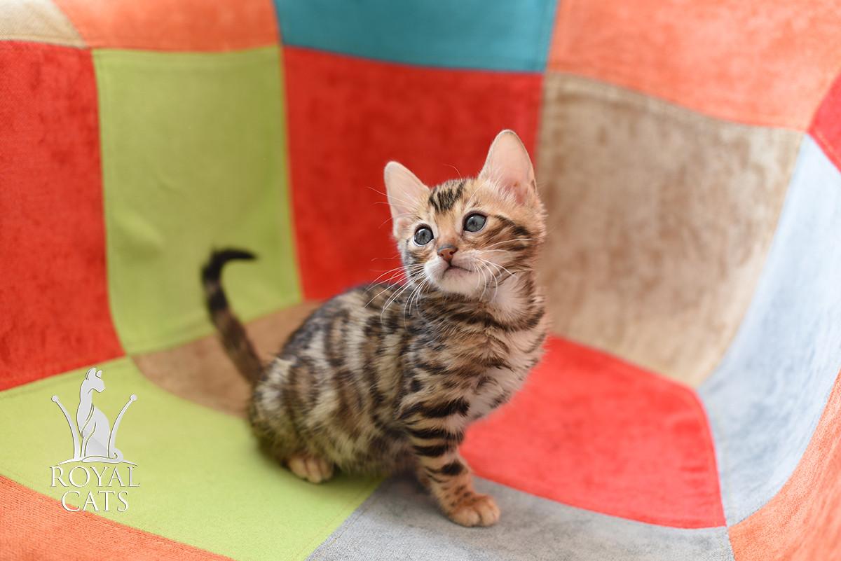 Кошечка 2. Бенгальская кошечка питомника Royal Cats
