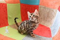 Кошечка 2. Бенгальская кошечка питомника Royal Cats, фото 1