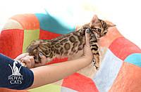 Кошечка 3. Бенгальская кошечка питомника Royal Cats, фото 1