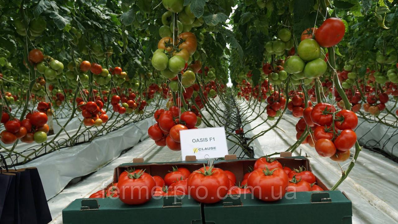 Семена томата Оазис F1 \ Oasis F1 250 семян Clause