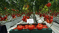 Семена томата Оазис F1 250 семян Clause