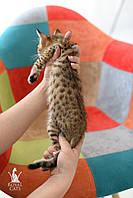 Котёнок саванна ф5 сбт, в разведение, крупный, с бабочками на ушах, фото 1