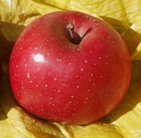 Яблоня Фуджи Бени Шогун. (Б7-35). Зимний сорт.