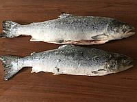 Рыба семга свежемороженая