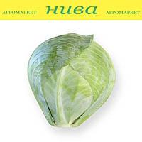 Сторема F1 (Storema F1) семена капусты белокачанной поздней Rijk Zwaan 2 500 семян