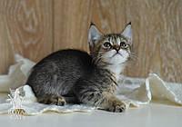 Котёнок Чаузи Ф2, очень крупный, с кистями и бабочками на ушках