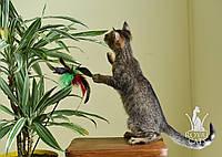 Котёнок Чаузи Ф2 от очень крупных производителей, питомник Royal Cats