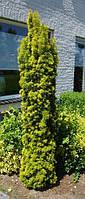 """Тис ягодный """"Fastigiata Aurea"""" 100-120 см."""