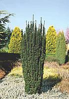 """Тис ягодный """"Fastigiata Robusta"""" 100-125 см."""