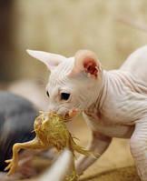 Кормление кошек суточными цыплятами.