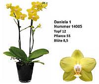 Подросток сортовой орхидеи фаленопсис Даниэлла