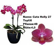 Подросток орхидеи мультифлоры Cute holly 27