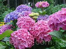 "Гортензия  крупнолистная Гертруда Глахн \ Hydrangea macrophylla ""Gertrud Glahn"" ( саженцы  ), фото 3"