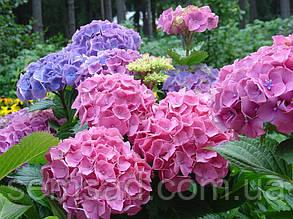 "Гортензия  крупнолистная Гертруда Глахн \ Hydrangea macrophylla ""Gertrud Glahn"" ( саженцы 2 года ), фото 2"