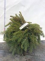 Ель обыкновенная (Picea abies Formanek) С 5