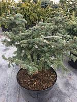 Ель колючая Blue Trinket (Picea pungens) С 20
