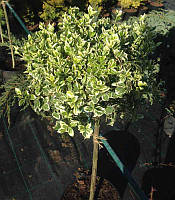 Euonymus fortunei 'Silver Queen' Бересклет Форчуна, штамб,C5,60-70см