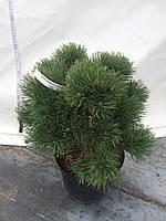 Сосна обыкновенная - Pinus sylvestris Frensham С 5