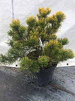 Сосна горная Карстенс Винтерголд (Pinus mugo Carsten Wintergold)  С10