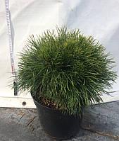 Сосна горная Варелла (Pinus mugo Varella) С 5
