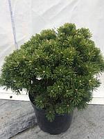 """Сосна горная Бенжамин """"Pinus mugo Benjamin"""" С 10"""