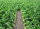 Семена сельдерея Балена  \ Balena 10.000 семян Bejo zaden, фото 3