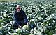 Семена капусты Краутман F1 \ Krautman F1 2500 семян Bejo zaden, фото 2